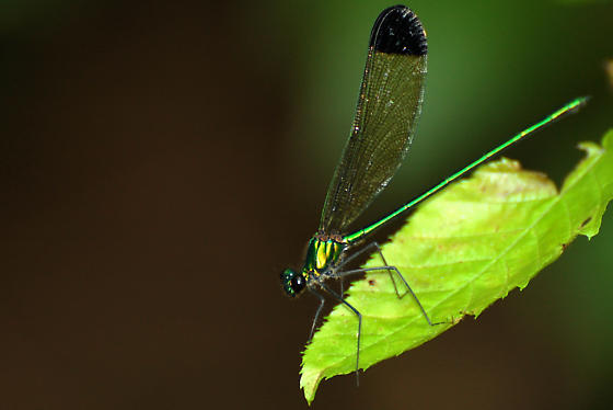 Sparkling Jewelwing - Calopteryx dimidiata - male