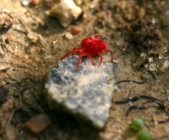 Spider Mite? - Trombidium