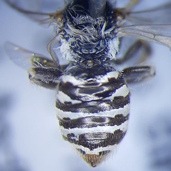 Andrenidae - Calliopsis