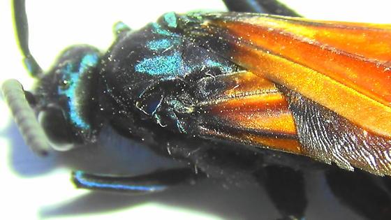 Handsome Tarantula Hawk (dorsal thorax) - Pepsis thisbe - male