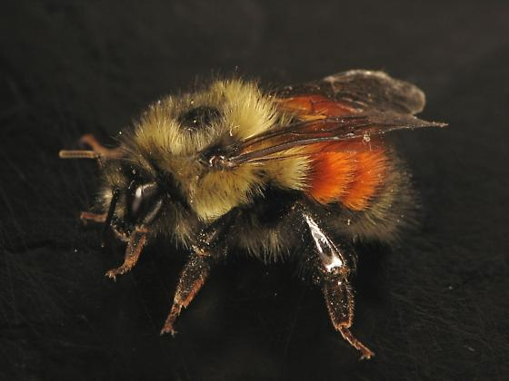 Bumble - Bombus melanopygus - female