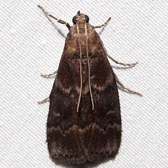 Euzophera ostricolorella