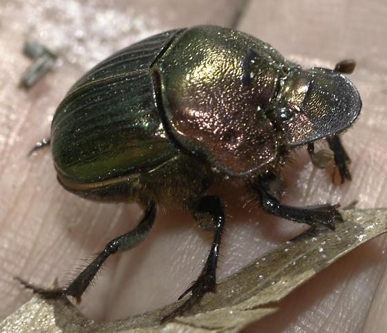 Dung Beetle - Phanaeus igneus - female