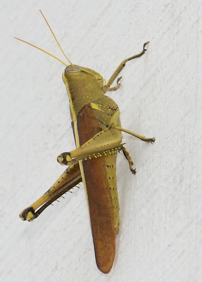 Grasshopper - Schistocerca obscura - female