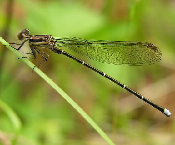 Damselfly - Argia tibialis - male