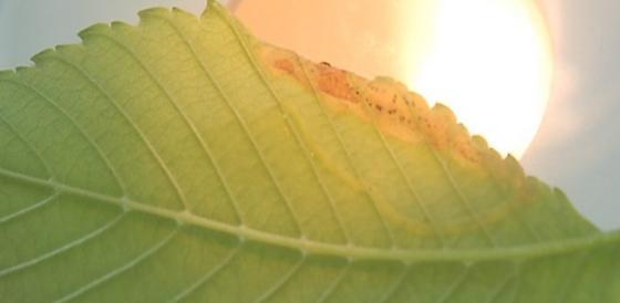 St. Andrews leaf miner on Ulmus rubra SA326 2016 4 - Agromyza aristata