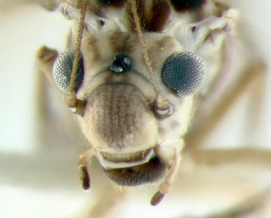 Psocidae, Common Barklice, face - Blastopsocus lithinus - female