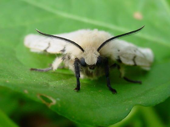 Dagger Moth? - Lymantria dispar