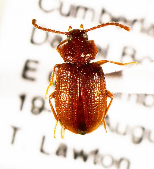 beetle - Anaedus brunneus
