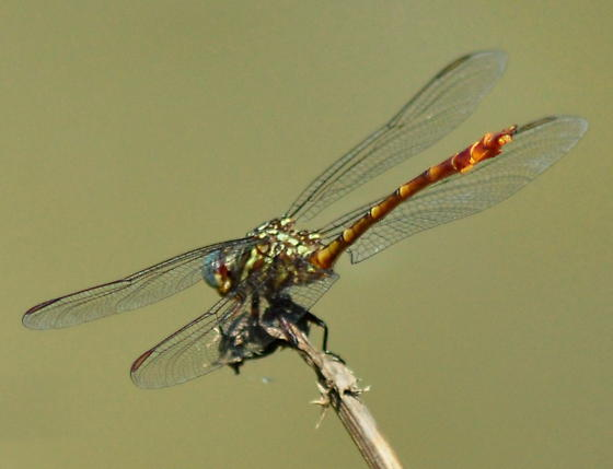 Narrow-striped Forceptail - Aphylla protracta - male