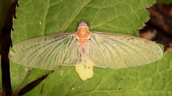 Polymitarcyidae (Pale Burrower Mayfly) - Tortopsis primus - female