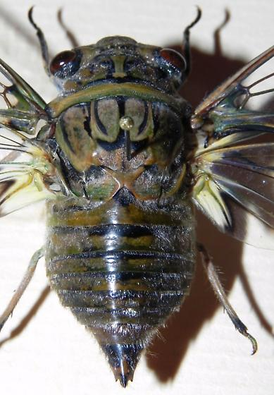 TX Cicada Species? - Quesada gigas