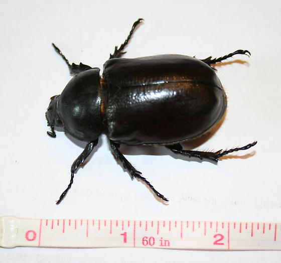 very large beetle - Dynastes tityus - female