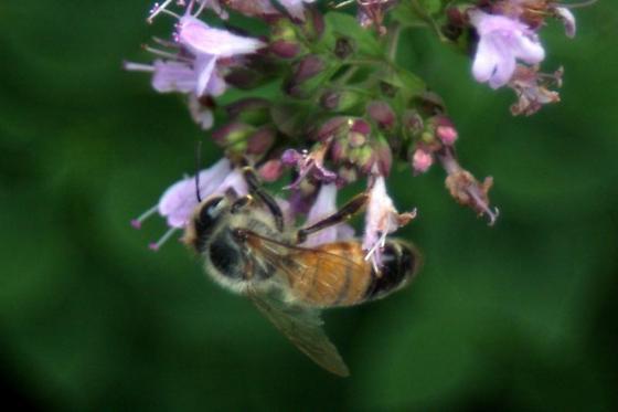 Unknown Honeybee