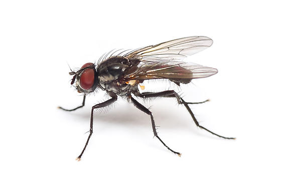 Cabbage Root Fly - Delia radicum - male