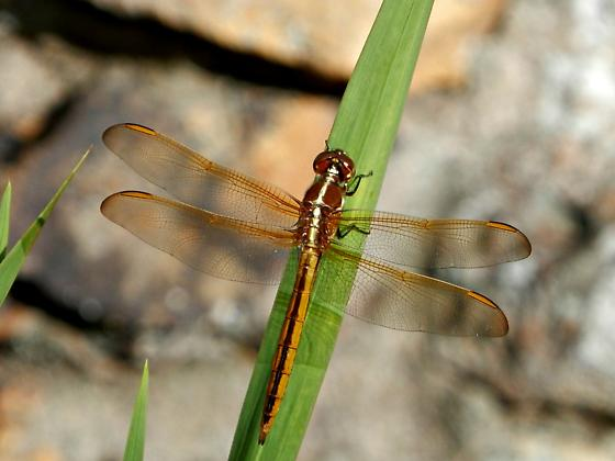 Golden Winged Skimmer? - Libellula auripennis - male