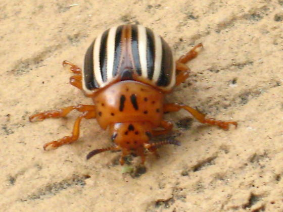 Have never seen a beetle like this in 40 years of looking at them. - Leptinotarsa juncta