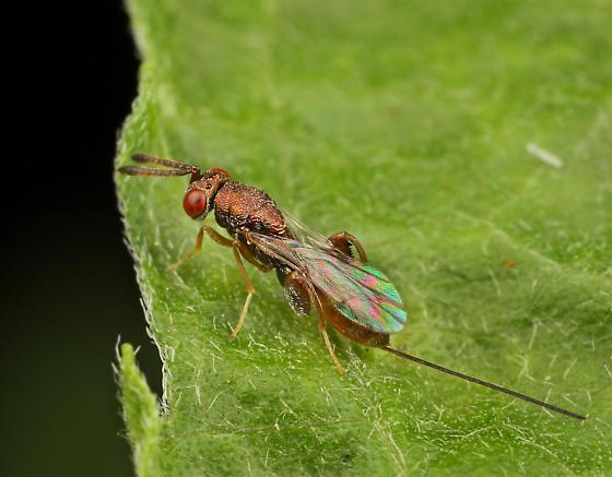 Wasp ID - Podagrion - female