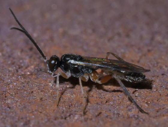 Black ichneumon wasp with white antennae bases - BugGuide.Net Black Ichneumon Wasp