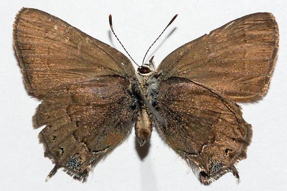 Satyrium saepium chlorophora - Satyrium saepium - female