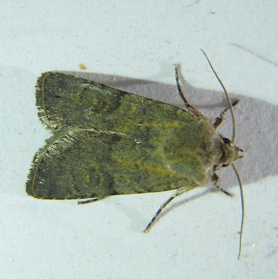 Euxoa piniae - Hodges #10791 - Euxoa piniae