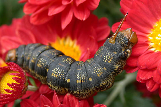 Caterpillar - Hyles lineata
