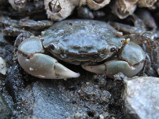 Oregon Shore Crab - Hemigrapsus oregonensis