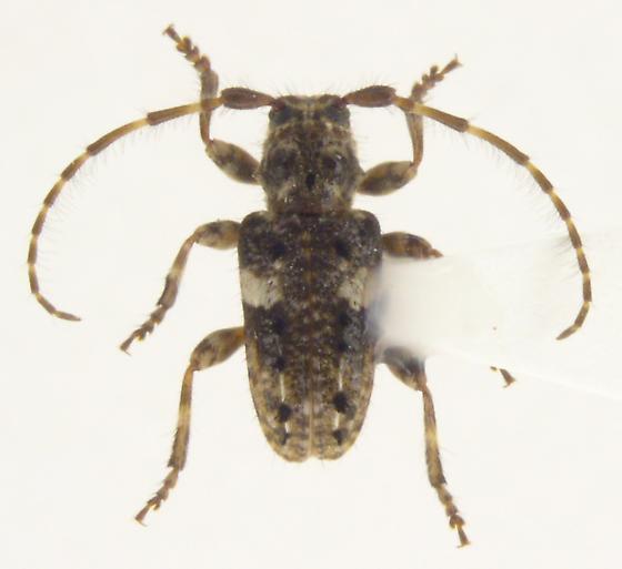 Pogonocherus penicillatus - male