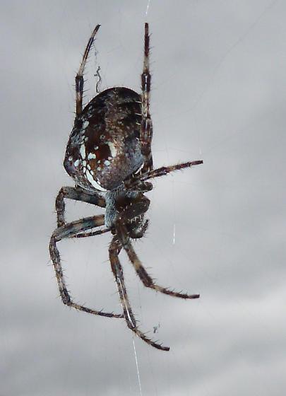 Araneus diadematus, Vancouver, BC - Araneus diadematus - female