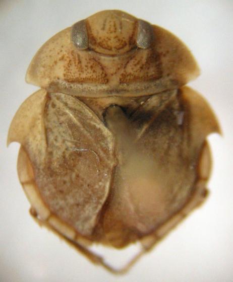Batman Bug - Limnocoris moapensis