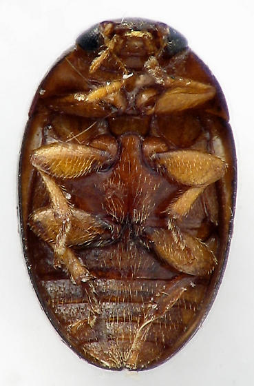 Shining Flower Beetle? - Olibrus