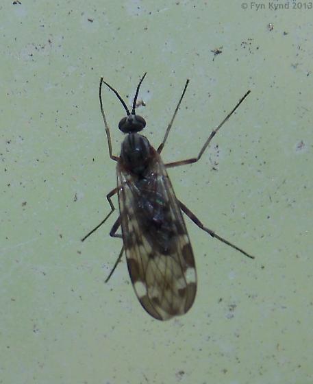 Fly - Sylvicola alternatus - female