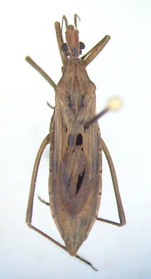 Narvesus carolinensis