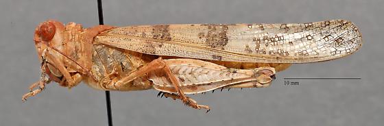 Acrididae - Trimerotropis pallidipennis? - Trimerotropis pseudofasciata - male