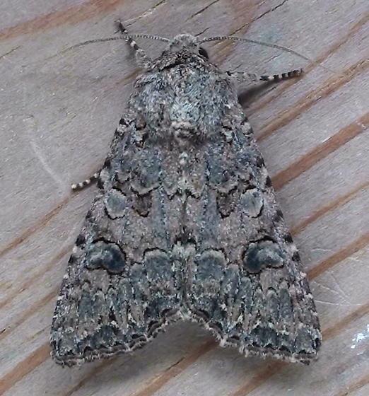 Noctuidae: Anarta trifolii - Anarta trifolii