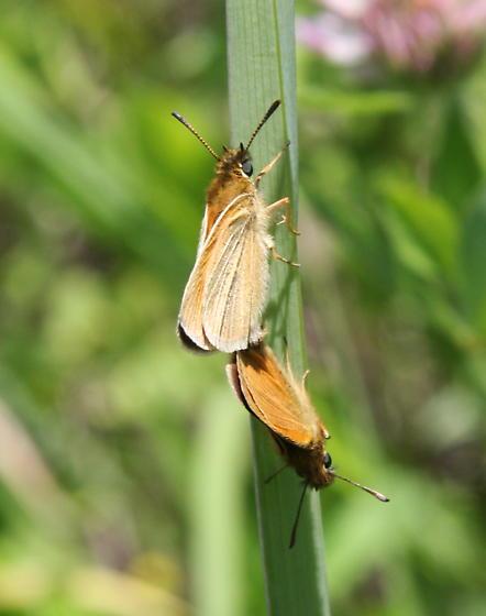 Delaware skipper? - Thymelicus lineola - male - female