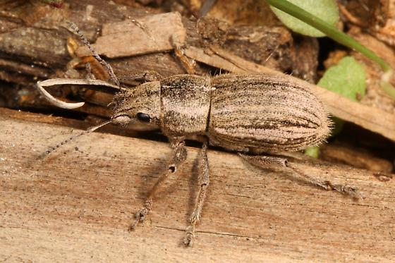 Broad-nosed Weevil - perhaps Clover? - Naupactus leucoloma
