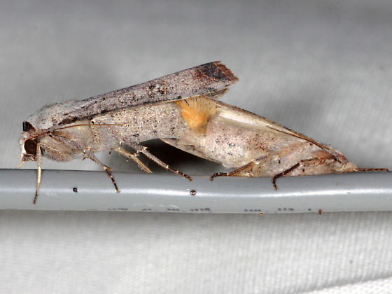Anicla infecta - male - female