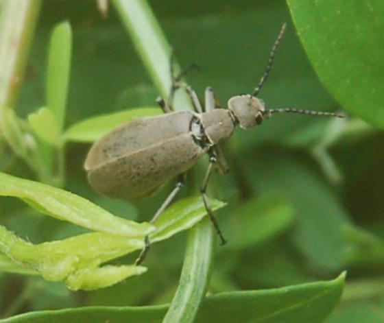 Lake Crabtree beetle blister beetle Epicauta fabricii maybe 2018 1 - Epicauta