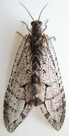Giant Lacewing - Polystoechotes punctata