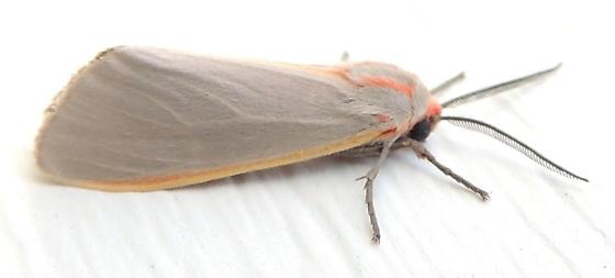 grey and pink moth - Pygarctia abdominalis