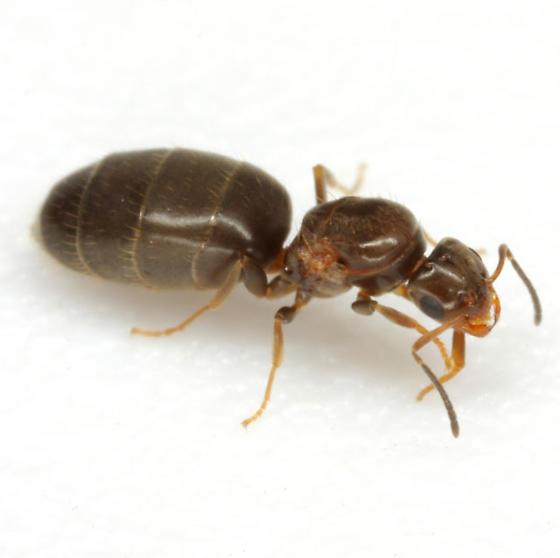 Brachymyrmex - Brachymyrmex patagonicus - female