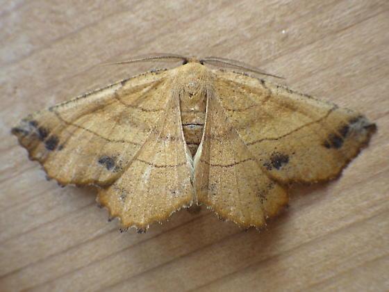 Geometridae: Euchlaena johnsonaria - Euchlaena johnsonaria - male
