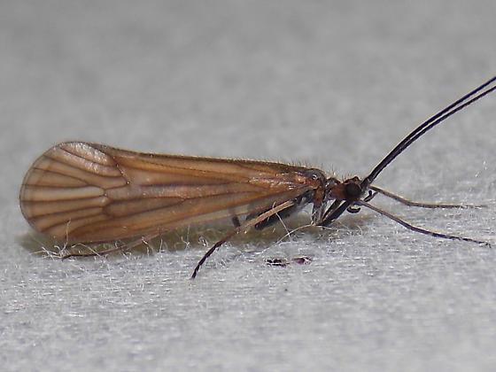 Phanocelia canadensis