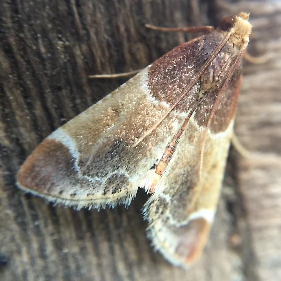 Flower moth - Pyralis farinalis