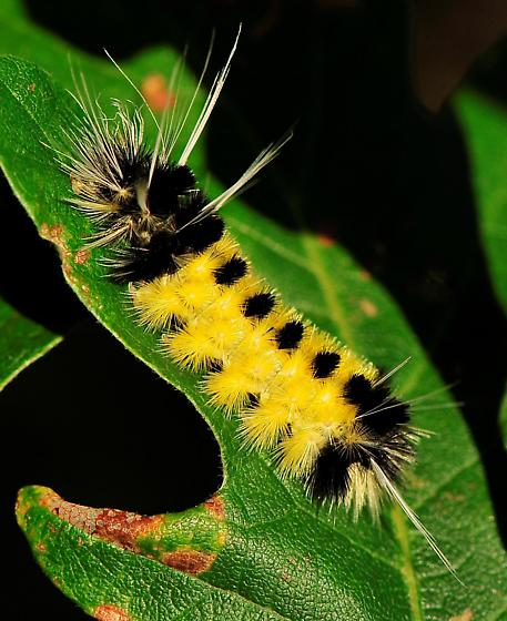 Lophocampa maculata - Spotted Tussock Moth - Hodges#8214 - Lophocampa maculata