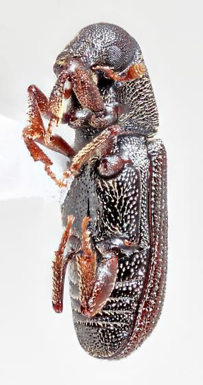 Sonora-9 - Hylastes gracilis