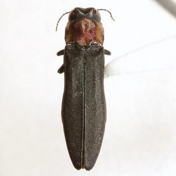 Agrilus ruficollis (Fabricius) - Agrilus ruficollis
