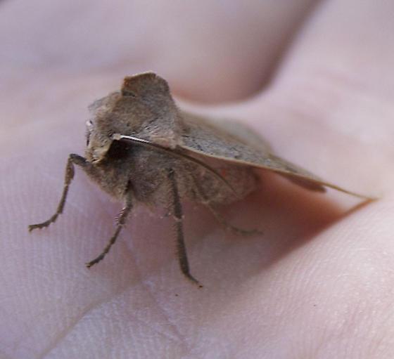 Noctuidae? - Richia chortalis