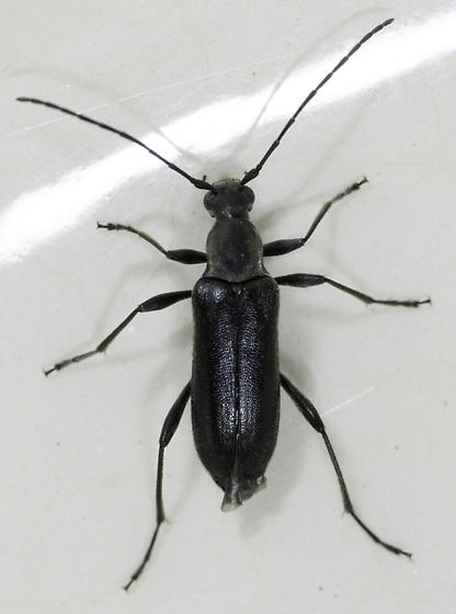 all black Cerambycid - Grammoptera subargentata